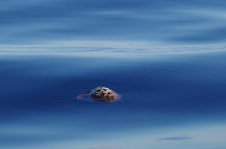 A Mid Atlantic Turtle