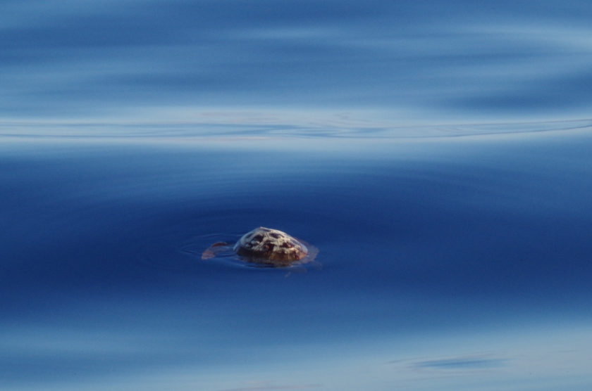 A Mid Atlantic Turtle