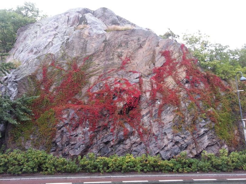 A Rock in Norway covered with red leaf vines