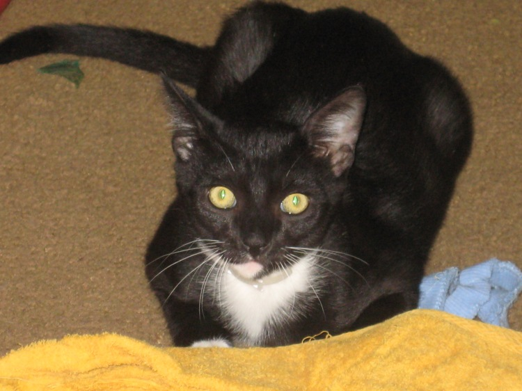 Gigi, aka Blackie, as a youngster. He grew to be one of the biggest cats I have ever seen.