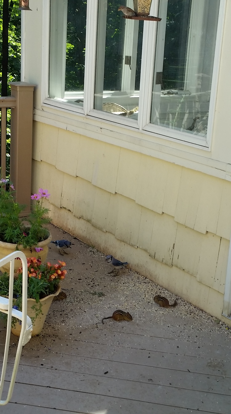 Each morning I watch the feeding frenzy of Blue Jays, Cardinals, squirrels and chipmunks.